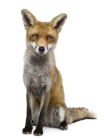 zorros: Vista frontal de zorro rojo, 1 a�o de edad, sentado delante de fondo blanco