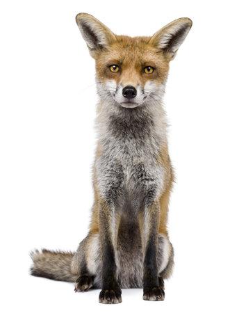 volpe rossa: Vista frontale del Red Fox, 1 anno di et�, seduto davanti a sfondo bianco  Archivio Fotografico