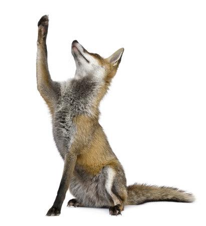 volpe rossa: Red Fox, 1 anno di et�, seduta cercare davanti a sfondo bianco