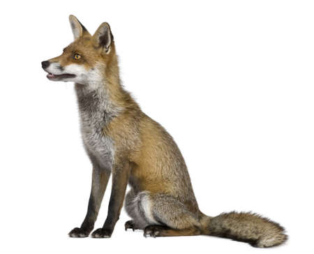 Side view of Red Fox, 1 year old, sitting in front of white background