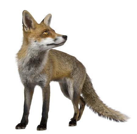 volpe rossa: Red Fox, 1 anno di et�, in piedi davanti a sfondo bianco