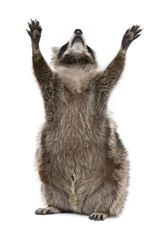 raccoon: Raccoon, 2 years old, reaching up in front of white background