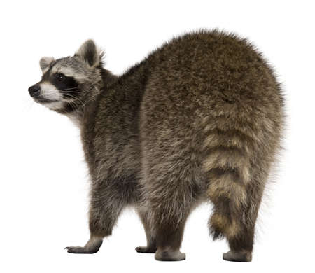 2 years old: Rear view of Raccoon, 2 years old, standing in front of white background Stock Photo