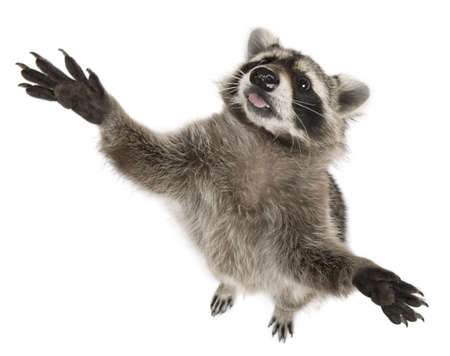 hind: Raccoon, 2 years old, reaching up in front of white background