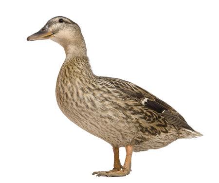 mallard duck: Female Mallard, 1 years old, standing in front of white background