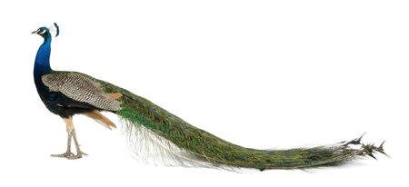 pavo real: Perfil de pavo macho delante de fondo blanco