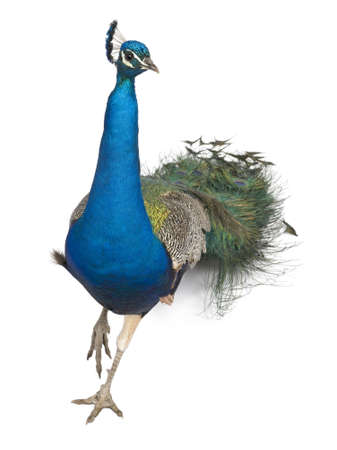 peafowl: Male Indian Peafowl walking in front of white background