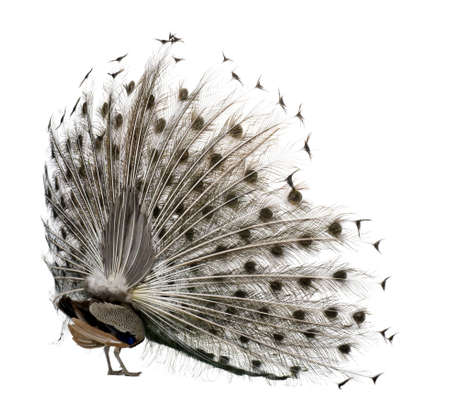 peacock wheel: Rear view of Male Indian Peafowl displaying tail feathers in front of white background