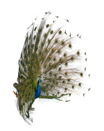 peacock wheel: Side view of Male Indian Peafowl displaying tail feathers in front of white background