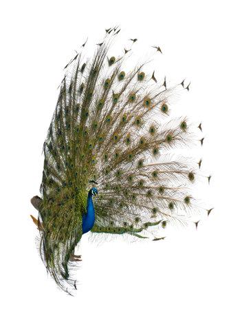 pavo real: Vista lateral de pavo macho mostrando las plumas de la cola delante de fondo blanco