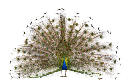 exhibiting: Front view of Male Indian Peafowl displaying tail feathers in front of white background