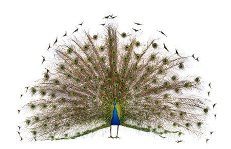 pavo real: Vista frontal de pavo macho mostrando las plumas de la cola delante de fondo blanco