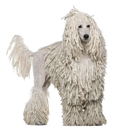 standard: White Corded standard Poodle standing in front of white background