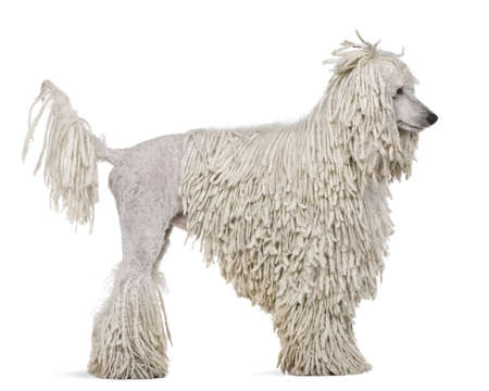 corded: Side view of White Corded standard Poodle standing in front of white background