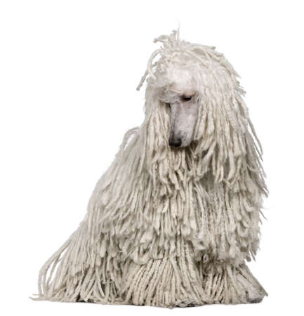 the hairy: White Corded standard Poodle sitting in front of white background