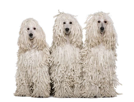 corded: Three White Corded standard Poodles sitting in front of white background Stock Photo