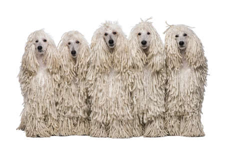 corded: Five White Corded standard Poodles sitting in front of white background