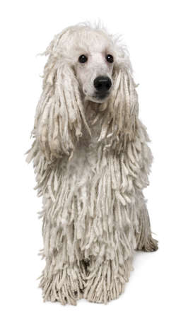 corded: White Corded standard Poodle sitting in front of white background