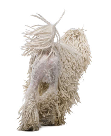 no movement: Rear view of White Corded standard Poodle walking in front of white background Stock Photo