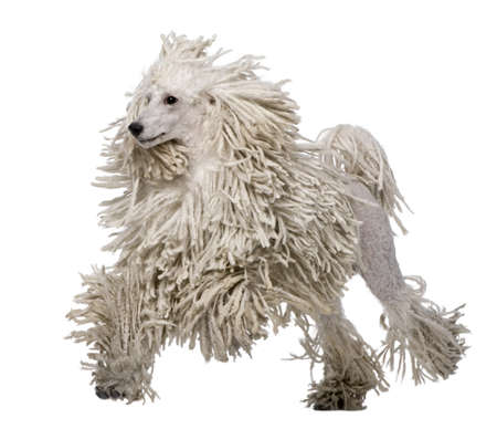 corded: White Corded standard Poodle walking in front of white background Stock Photo