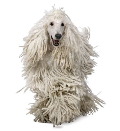 corded: Front view of White Corded standard Poodle walking in front of white background Stock Photo