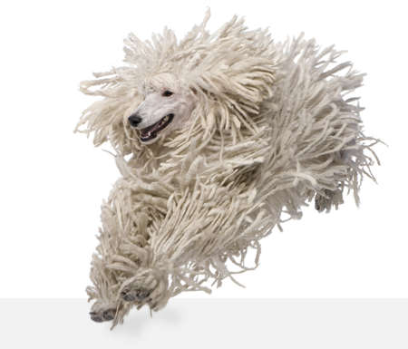 corded: Front view of White Corded standard Poodle running in front of white background