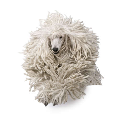 Front view of White Corded standard Poodle running in front of white background photo