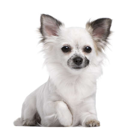 olds: Portrait of Chihuahua puppy, 1 year olds old, sitting in front of white background