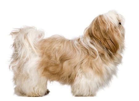 shih tzu: Side view of Shih Tzu, 1 year old, standing in front of white background