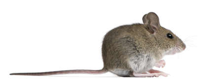 mouse animal: Side view of Wood mouse in front of white background