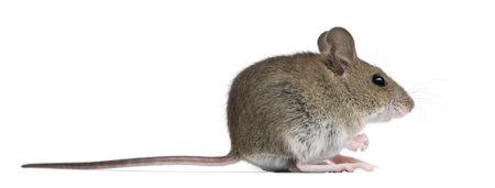raton: Vista lateral de rat�n de madera delante de fondo blanco
