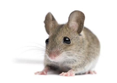 souris: Vue de face de souris de bois en face de fond blanc  Banque d'images