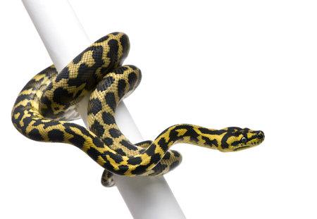 Morelia spilota variegata python, 1 year old, on pole in front of white background photo