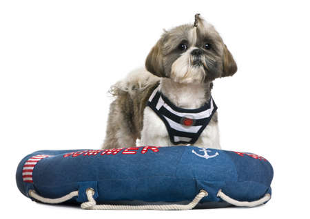 lifebelt: Shih Tzu, 18 months old, standing in lifebelt in front of white background