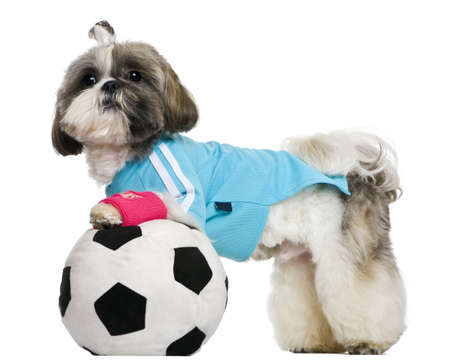 Shih Tzu, 18 months, dressed with soccer ball, in front of white background photo