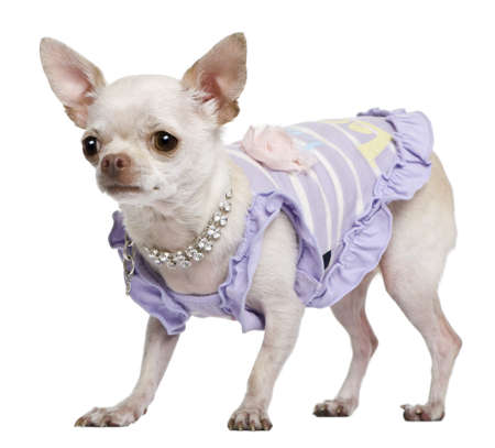 a frill: Chihuahua, 3 years old, dressed in purple with pearl necklace, in front of white background