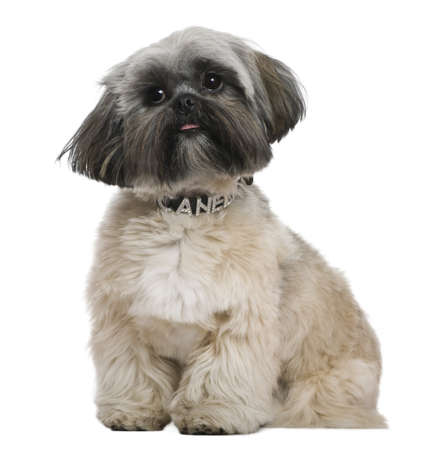 shih tzu: Shih Tzu, 13 months old, in front of white background