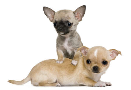 chihuahua 3 months old: Two chihuahua puppies, 2 months and 3 months old, in front of white background Stock Photo
