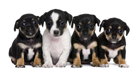 1 and group: Group of mixed-breed puppies, 1 month old, in front of white background Stock Photo