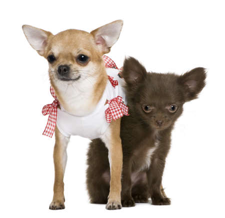 2 chihuahuas 15 months and a puppy 5 months, in front of white background photo