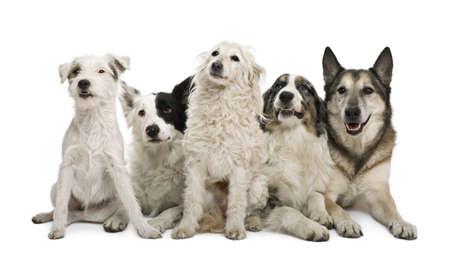 Two mixed-breeds, border collie, Australian shepherd, parson russel terrier, in front of white background Stock Photo - 7121421