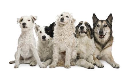 australian shepherd: Two mixed-breeds, border collie, Australian shepherd, parson russel terrier, in front of white background Stock Photo
