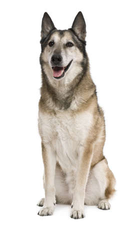 11 years: Mixed-breed, 11 years old, in front of white background