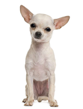Chihuahua puppy, 7 months old, in front of white background
