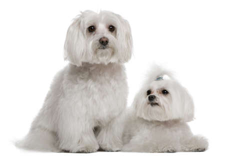 Bichon frisé and a Maltese, 7 years and 3 years old, in front of white background photo