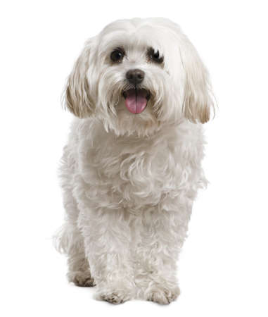 white maltese: Maltese, 2 years old, in front of white background Stock Photo