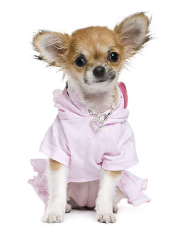 Chihuahua, 2 years old, dressed in front of white background photo