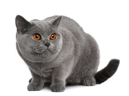 british shorthair (2 years old) in front of a white background photo