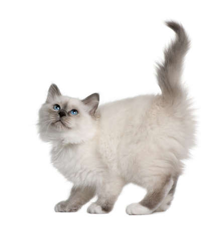 birman kitten: Birman kitten (11 weeks ols) in front of a white background