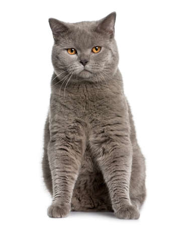 british shorthair (10 months old) in front of a white background photo
